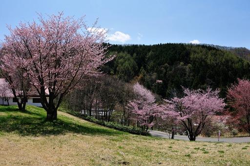 DSC_3452御殿桜.jpg