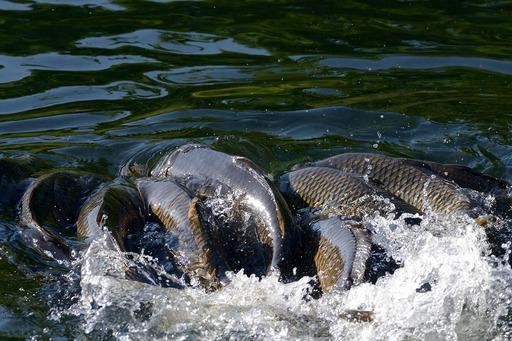 DSC_6601鯉の産卵.jpg