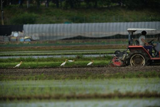 DSC_8366耕運機とアマサギ.jpg